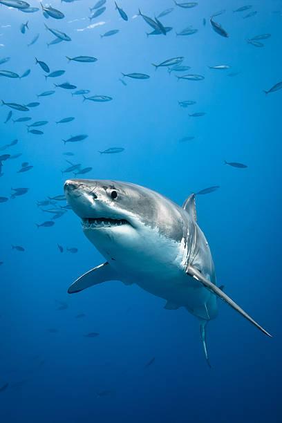 grande squalo bianco - squalo foto e immagini stock