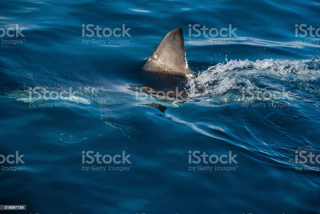 Great white shark (Carcharodon carcharias) stock photo