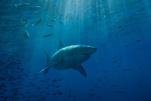 Great White Shark stock photo