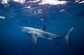 Great White Shark, Port Lincoln South Australia
