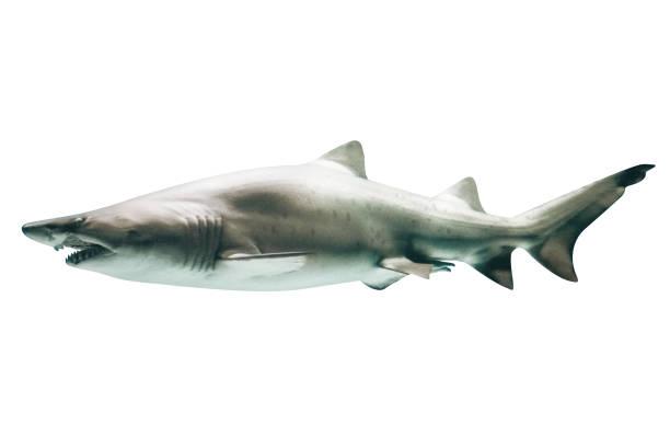 tiburón jaquetón - shark fotografías e imágenes de stock