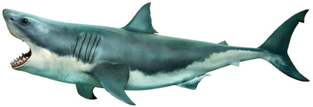 great white shark side view 3d illustration - squalo foto e immagini stock