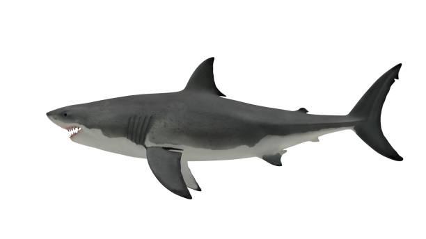great white shark side view on white - squalo foto e immagini stock