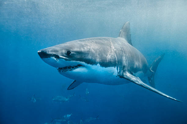 Great White Shark smile stock photo