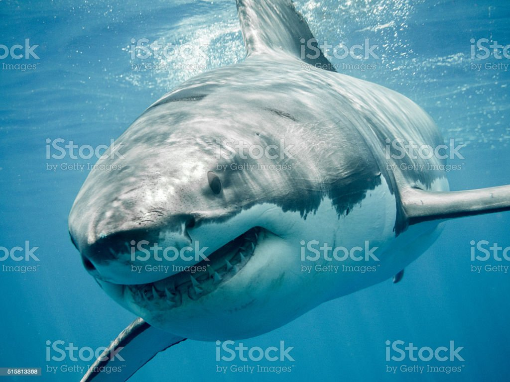 Great white shark smiling in the blue ocean stock photo