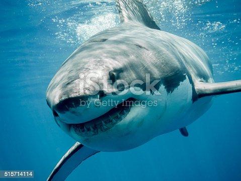 Great white shark smiling in the blue ocean