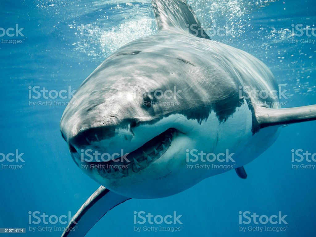 Great white shark smiling stock photo