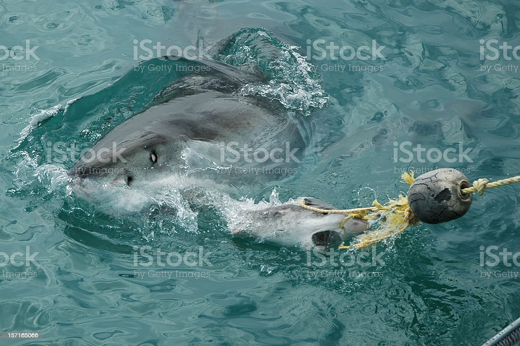 Great White Shark, South Africa royalty-free stock photo