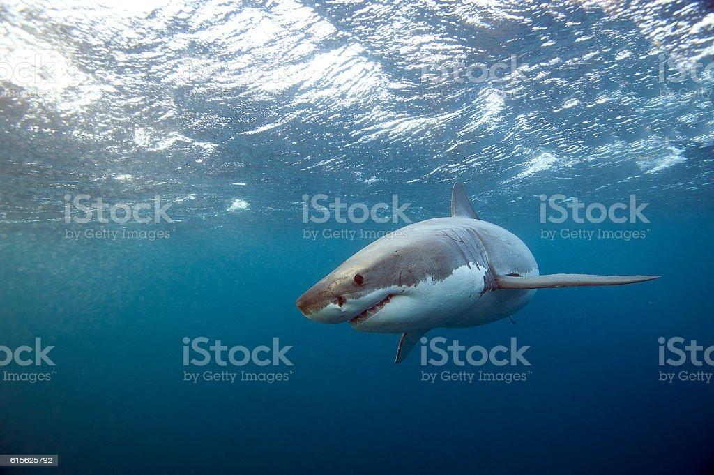 Great White Shark swim past stock photo