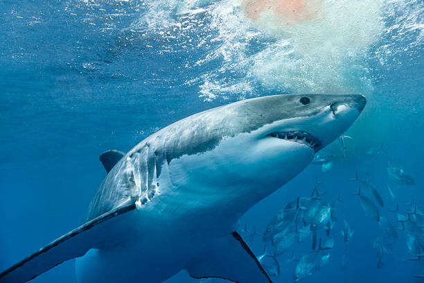 Great white shark with blood stock photo