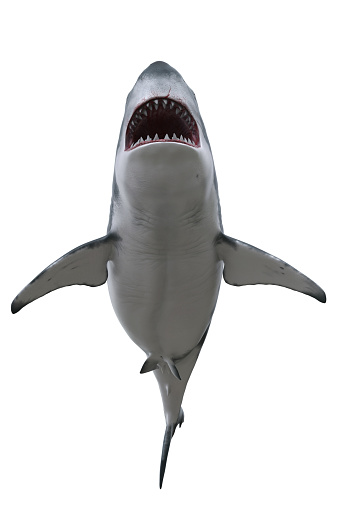 Great White Shark with mouth wide open seen from underneath. 3D render isolated on white.
