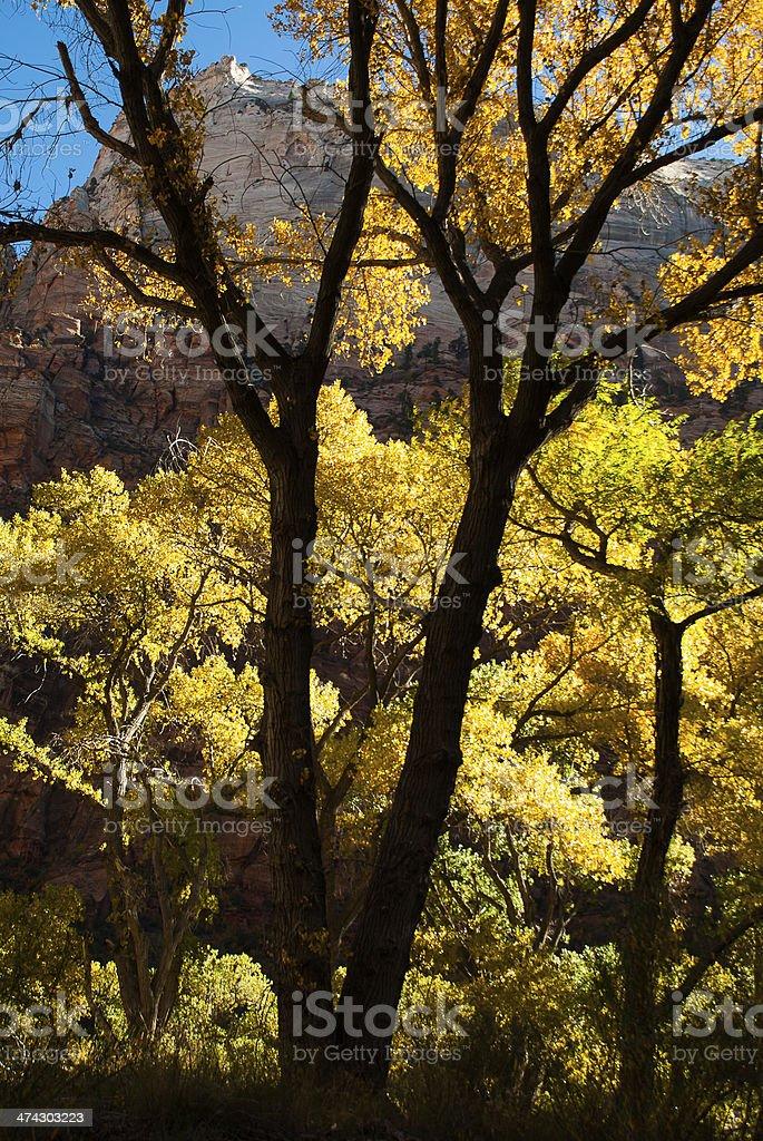 Great White Throne through Autumn Leaves Zion National Park utah royalty-free stock photo