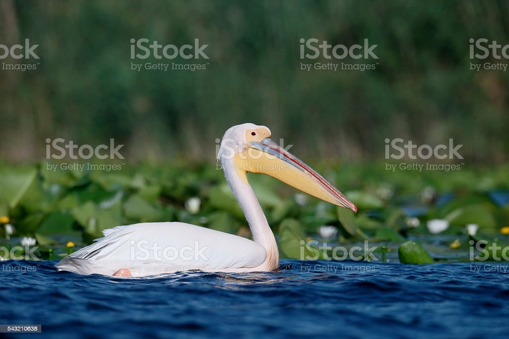 Great white-pelican, Pelecanus onocrotalus stock photo