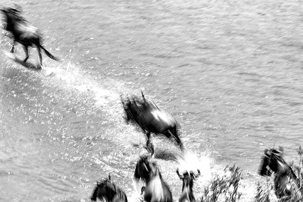 Great wildebeest migration in Kenya - blurred motion The annual Great Migration of wildebeest and other grazing herbivores across the Serengeti-Mara ecosystem is one of the greatest spectacles in the natural world. About 200 000 zebra and 500 000 Thomson's gazelle ...and one-and-a-half million wildebeest partake to this journey ! wildebeest running stock pictures, royalty-free photos & images