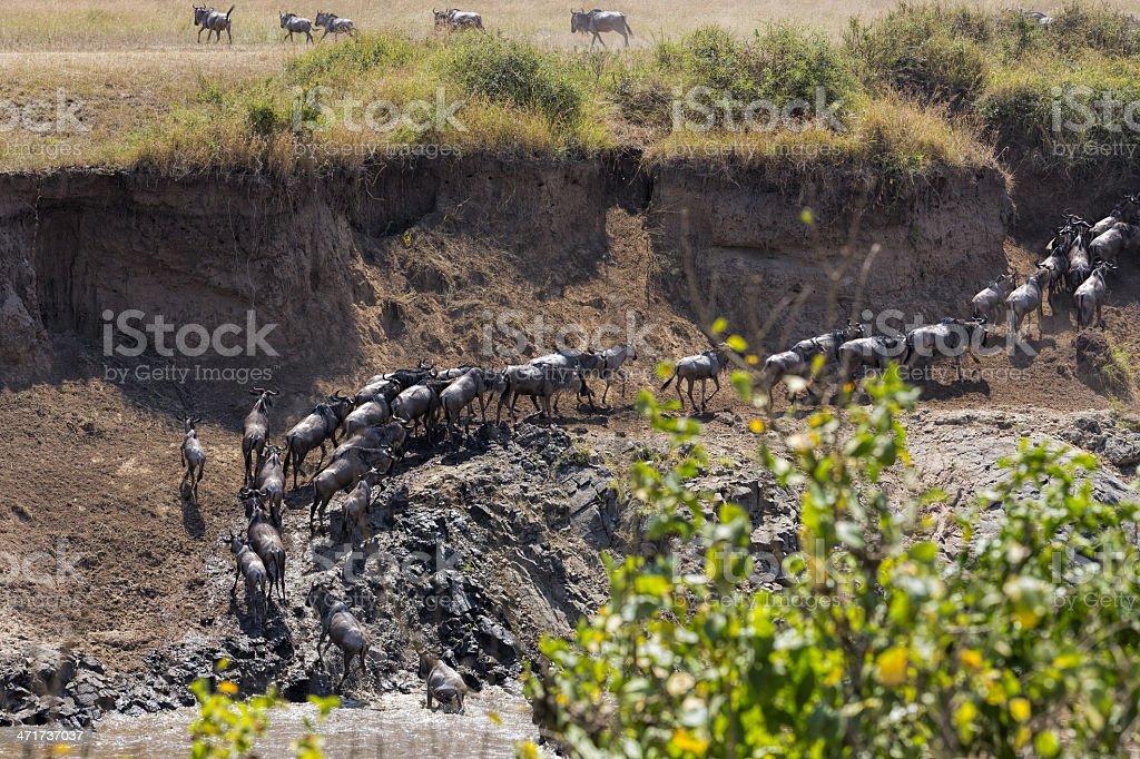 Great wildebeest migration in Kenya royalty-free stock photo