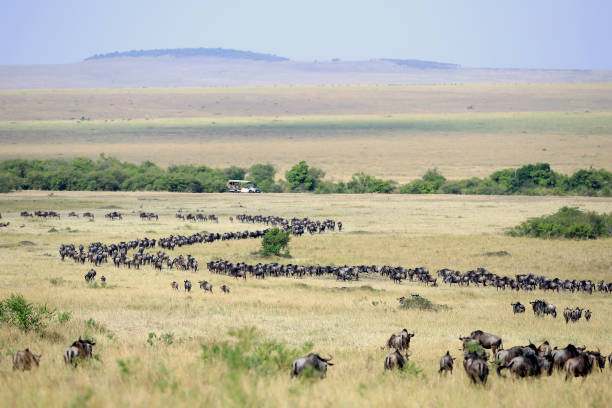 Great Wildebeest Migration in Kenya with Safari Vehicle The annual Great Migration of wildebeest and other grazing herbivores across the Serengeti-Mara ecosystem is one of the greatest spectacles in the natural world. About 200 000 zebra and 500 000 Thomson's gazelle ...and one-and-a-half million wildebeest partake to this journey ! masai mara national reserve stock pictures, royalty-free photos & images