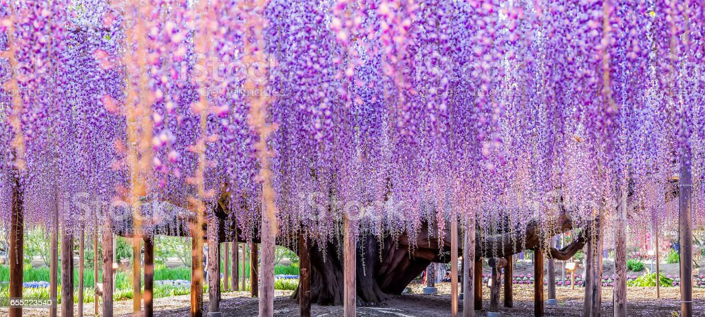 Great Wisteria at night stock photo