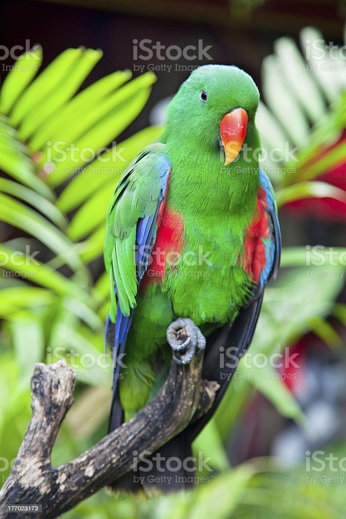 Great-billed Parrot  in nature surrounding royalty-free stock photo
