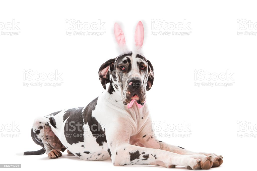 Greatdane with bunny ears stock photo