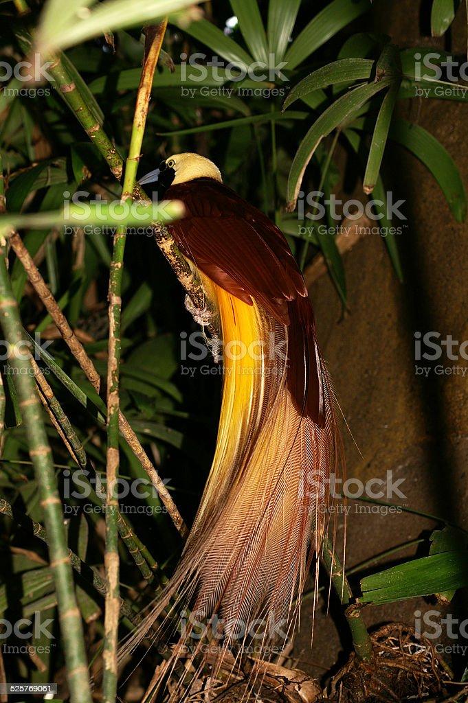 Gran ave del paraíso - foto de stock
