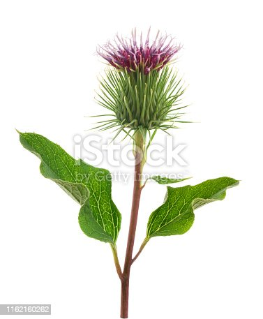 Burdock flower isolated on a white background