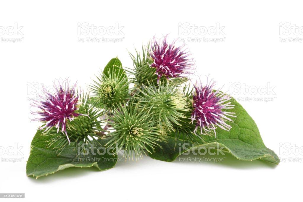 Greater Burdock flowers - foto stock