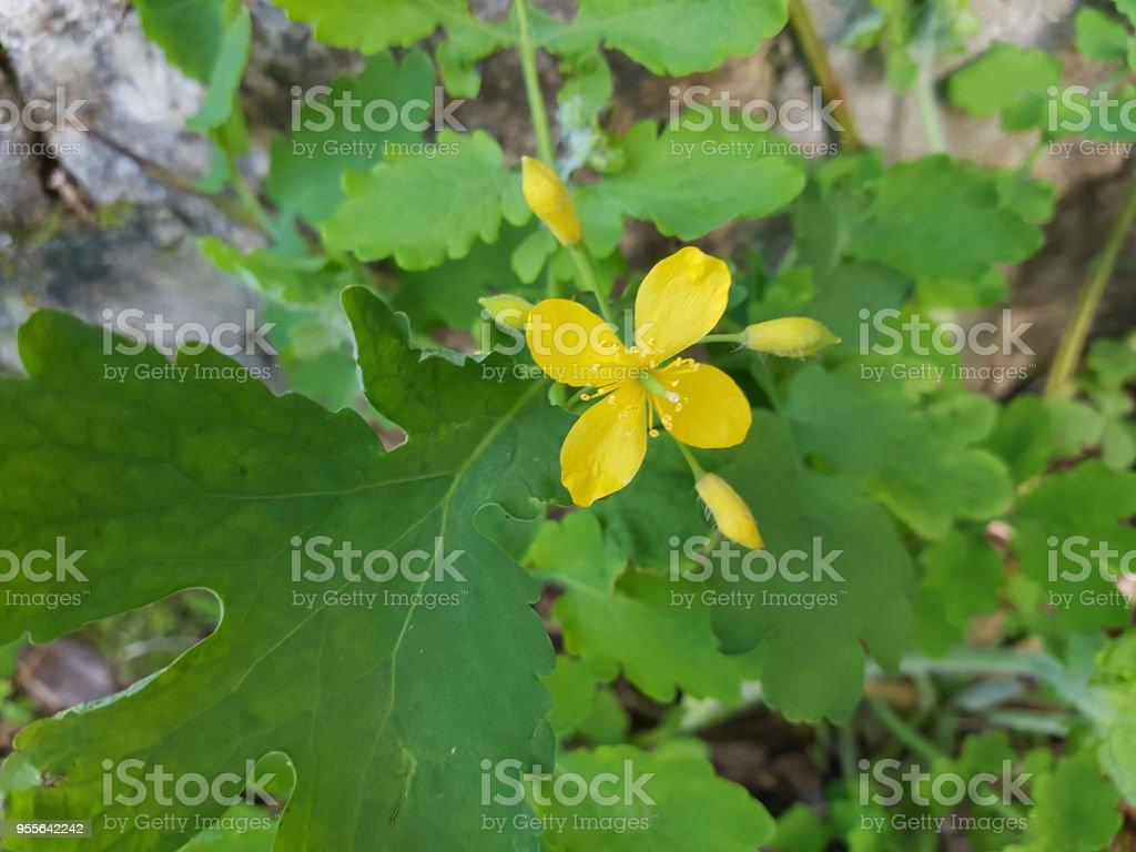 Greater celandine, tetterwort or nipplewort stock photo