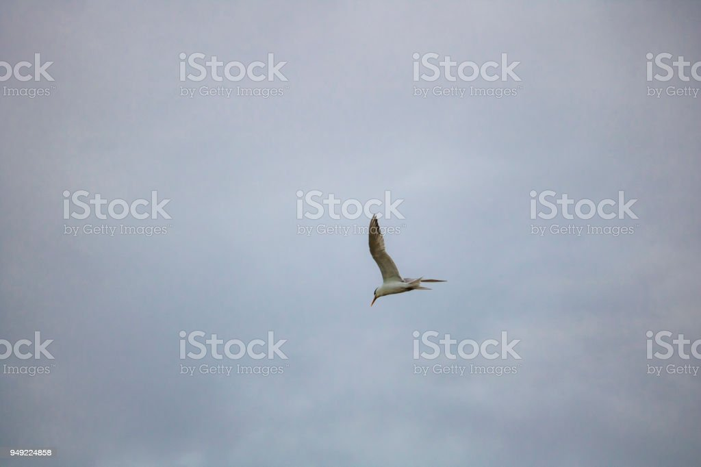 Greater Crested Tern bird in mid flight by the waterside on Paarden Eiland beach at sunrise. stock photo