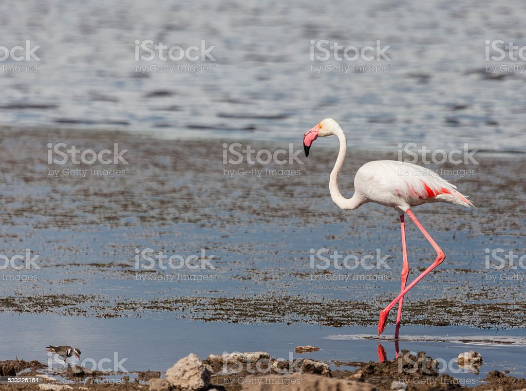 Greater Flamingo and Three-banded Plover, Etosha_N.P., Nambia, Africa stock photo