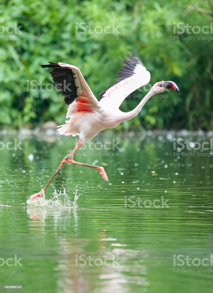 Greater Flamingo bird running on the green swamp river stock photo