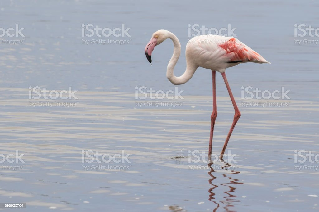 Greater flamingo feeding at Walvis Bay Lagoon, Namibia stock photo