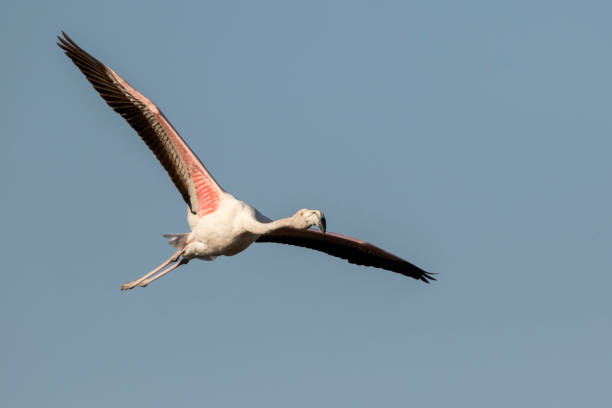 Greater Flamingo Flying – Foto
