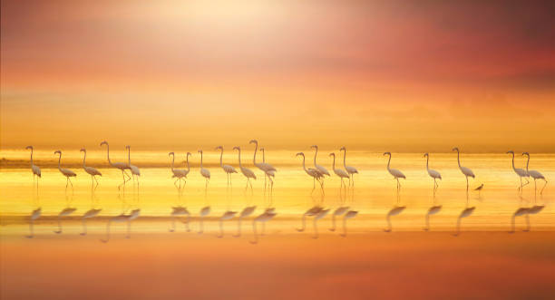 Greater flamingo in Colorful lake stock photo