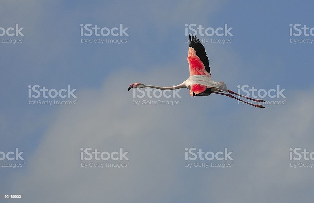 greater flamingo in flight royalty-free stock photo