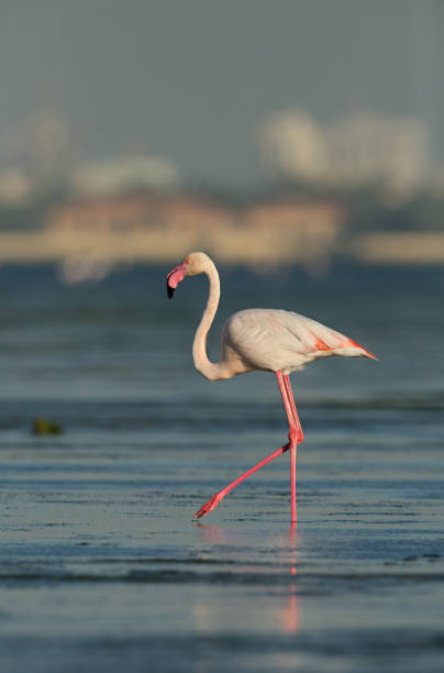 Greater Flamingo in the morning hours at Aker creek stock photo