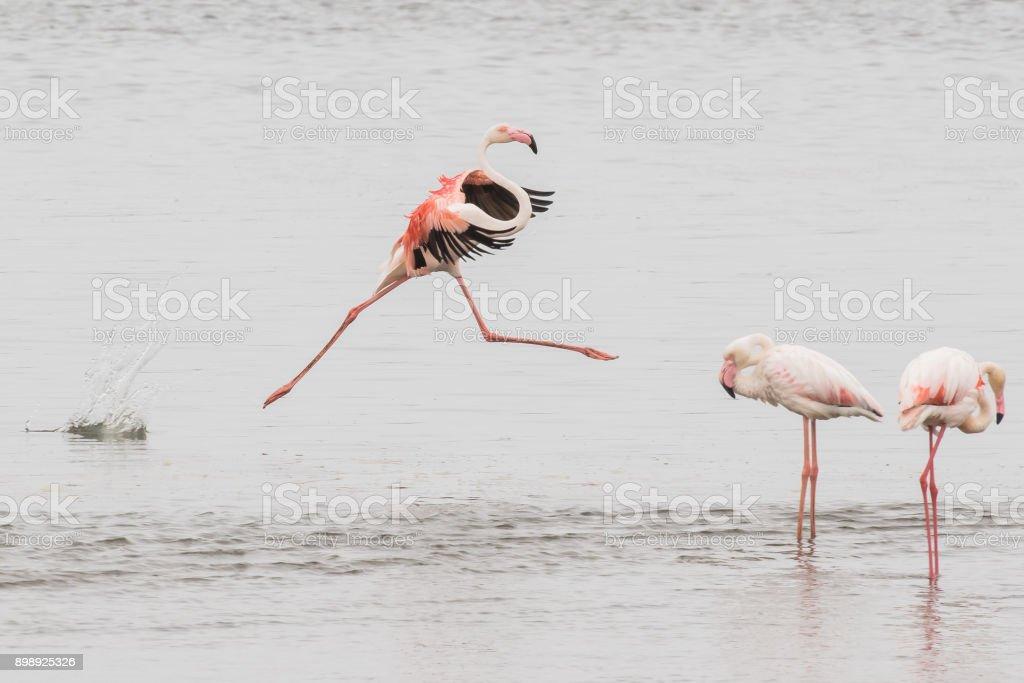 Greater flamingo performing grand jete at Walvis Bay Lagoon, Nam stock photo
