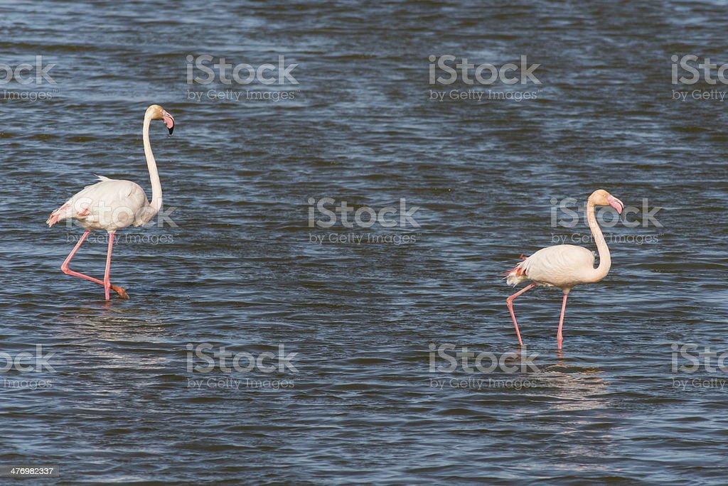 Greater flamingo, Phoenicopterus roseus stock photo