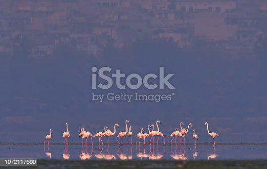 The greater flamingo (Phoenicopterus roseus) suffers from low reproductive success if exposed to disturbance at breeding colonies (e.g. from tourists, low-flying aircraft and especially all-terrain vehicles , or if water-levels surrounding nest-sites lower (resulting in increased access to and therefore predation from ground predators such as foxes and feral dogs) . The lowering of water levels in lakes can also lead to hyper-salinity which may affect food resources . Other threats to the species's habitat include effluents from soda-ash mining , pollution from sewage and heavy metal effluents from industries . The species also suffers mortality from lead poisoning , collisions with fences and powerlines , and from diseases such as tuberculosis, septicemia and avian botulism . Utilisation In Egypt large numbers of adults are shot or captured to be sold in markets and egg collecting from colonies occurs in some areas this may become a threat.