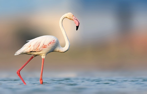 Greater flamingo is the one of the largest fair bird species in Indian subcontinent