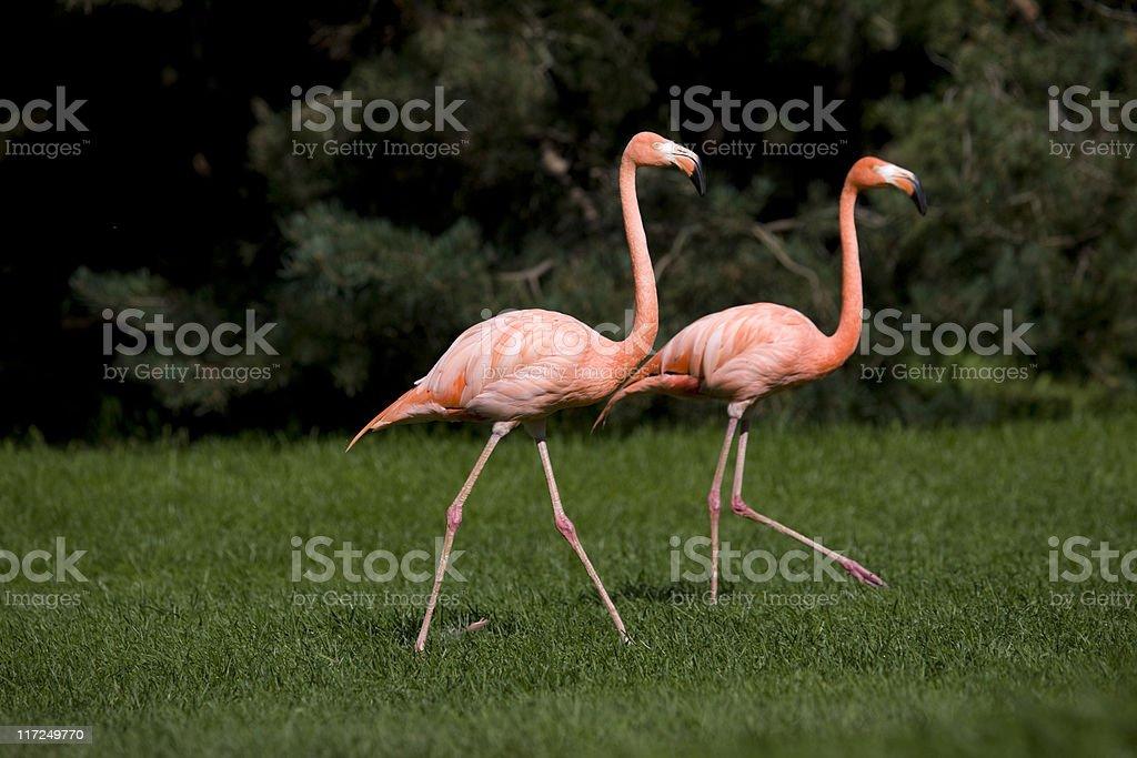 Greater Flamingo royalty-free stock photo
