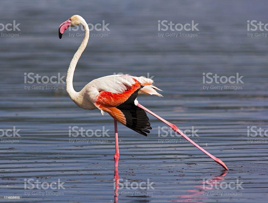 Greater flamingo stock photo