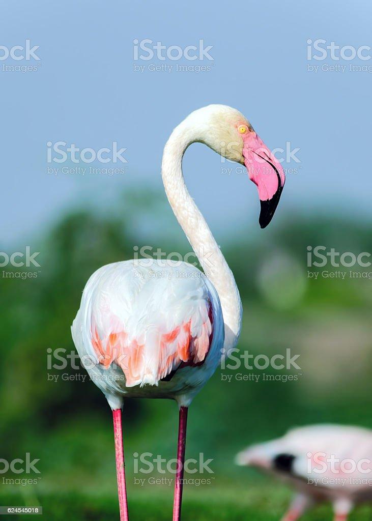 Greater flamingo Portrait - (Phoenicopterus roseus) stock photo