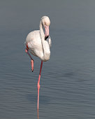 istock Greater Flamingo resting on a single foot 1278754551