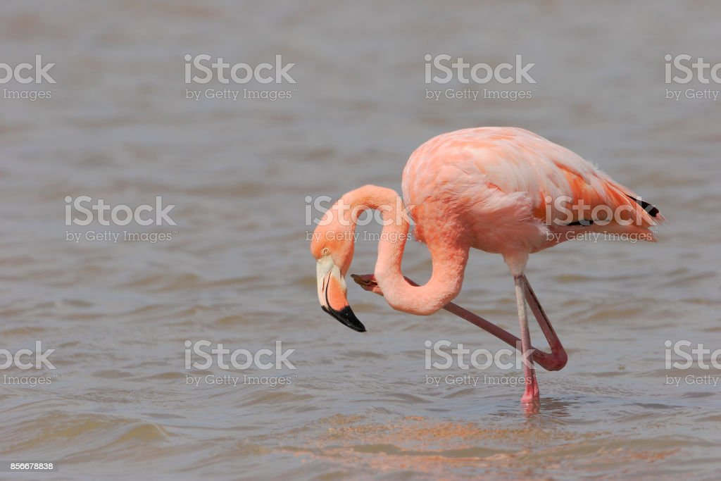 Greater Flamingo (Phoenicopterus ruber ruber) wading in water, Punta Cormorant, Floreana, Galapagos Islands stock photo