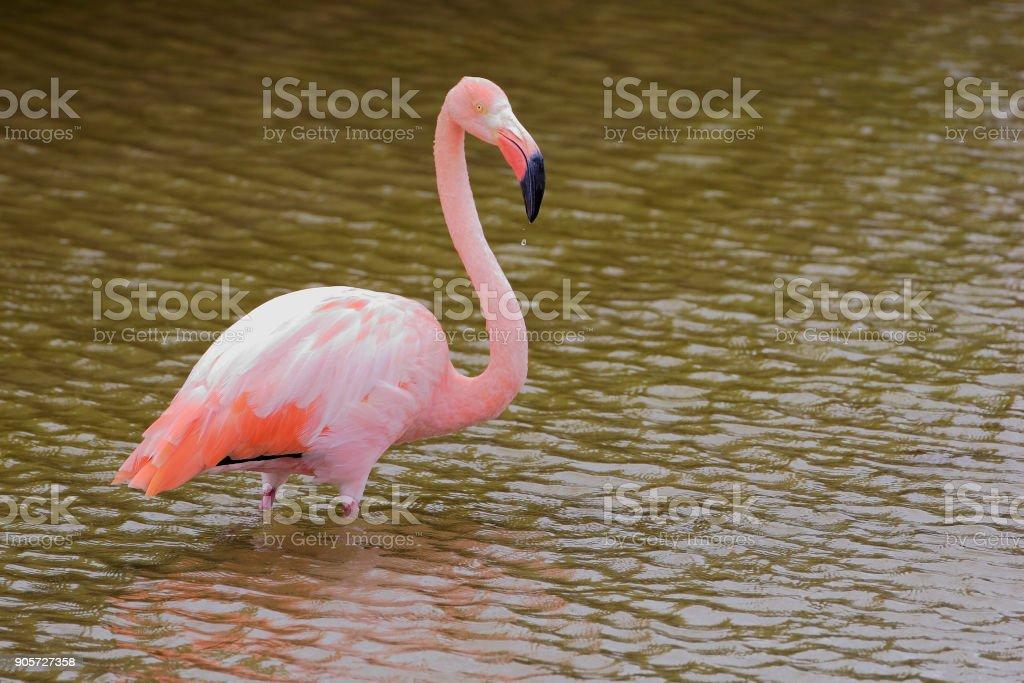 Greater Flamingo (Phoenicopterus ruber ruber) wading in water, Punta Moreno, Isabela, Galapagos Islands stock photo