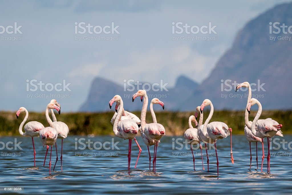 Greater Flamingoes stock photo