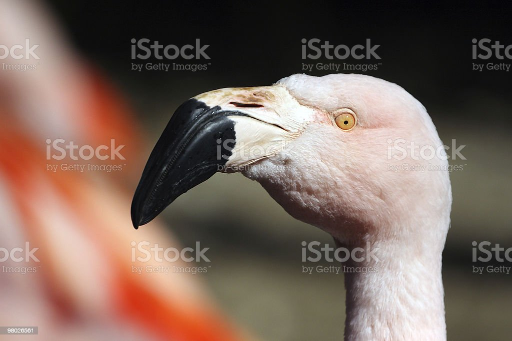 Greater Flamingo,Phoenicopterus roseus royalty-free stock photo