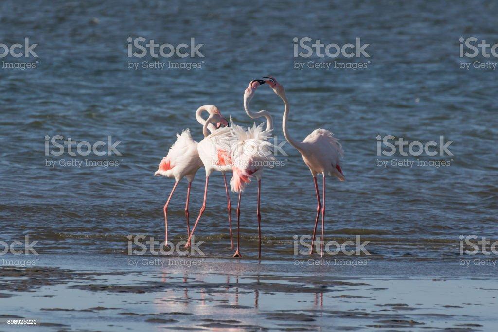 Greater flamingos head-flagging at Walvis Bay Lagoon, Namibia stock photo
