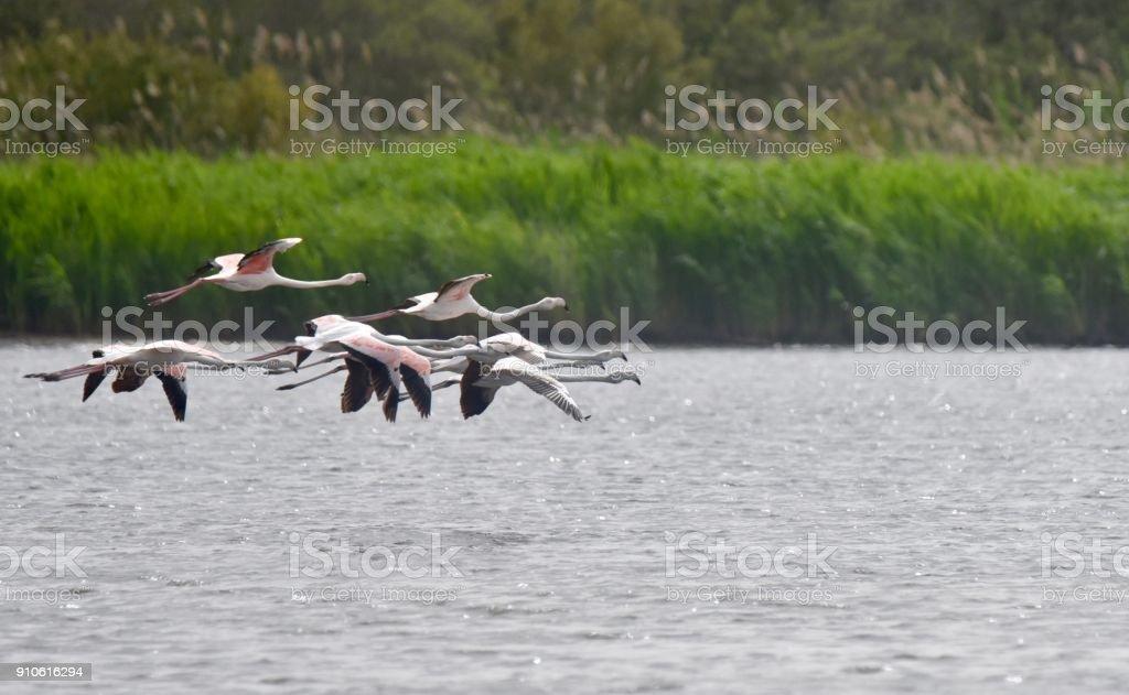 Greater flamingos in flight stock photo