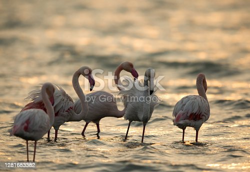 Greater Flamingos in the morning at Asker beach, Bahrain